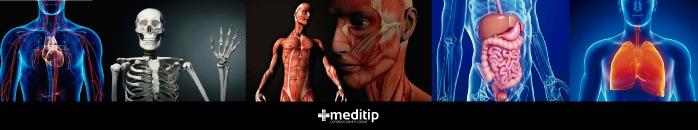 Función de las hormonas tiroideas