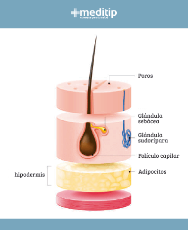 Capas de la piel: hipodermis