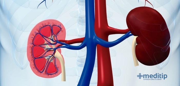 Circulación renal: la conexión entre los riñones y el corazón