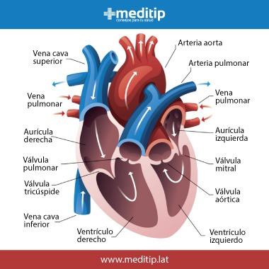 Sistema circulatorio: cámaras del corazón