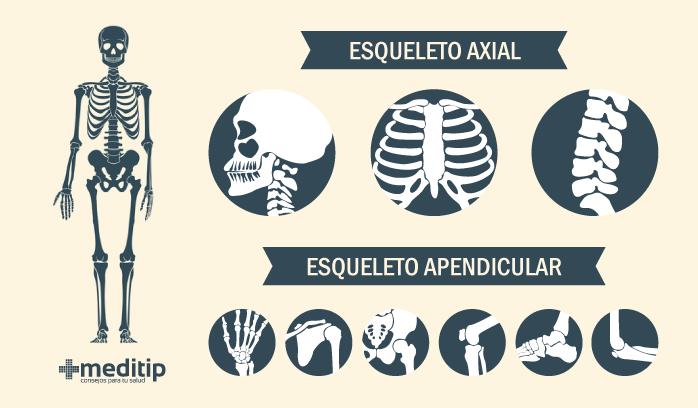 Infografía: esqueleto axial y esqueleto apendicular