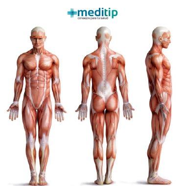 Músculos del sistema muscular