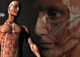 Sistema muscular: función y estructura de los músculos