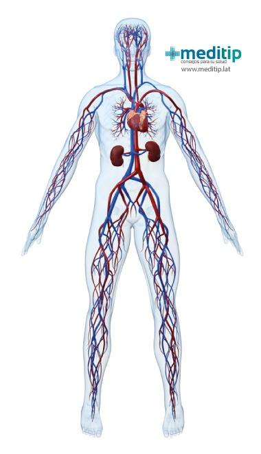 Estructura del Sistema circulatorio