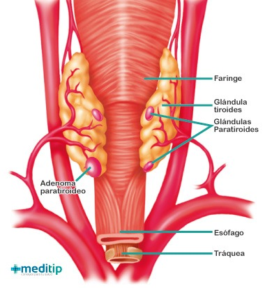 Glándulas paratiroides: definición, función y enfermedades - Meditip