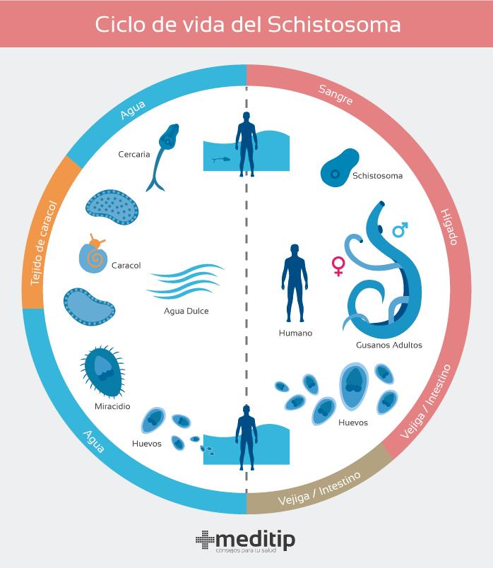 Esquistosomiasis: ciclo de vida del parásito schistosoma