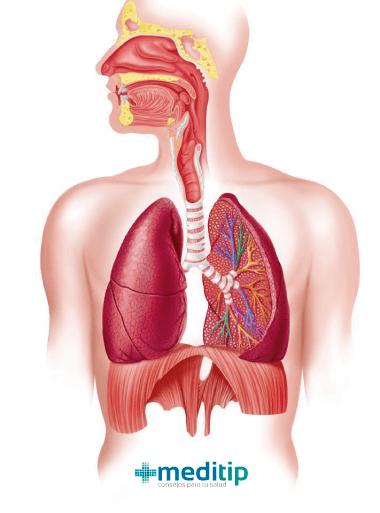 Pulmones: partes del sistema respiratorio