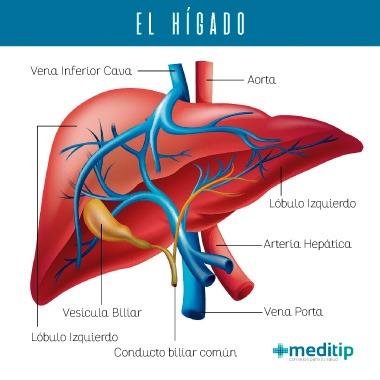 Función del hígado: estructura