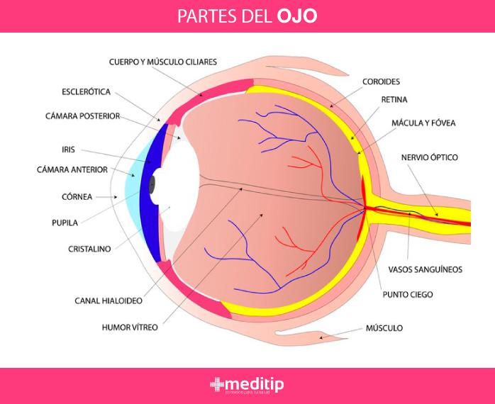Cómo funciona el ojo: estructura del ojo humano, partes del ojo