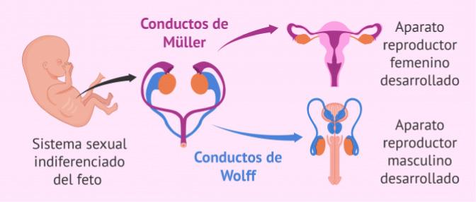 Cómo hace la hormona antimulleriana que se desarrollen los órganos genitales del feto