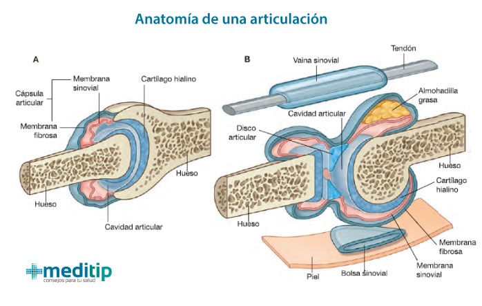 Esquema componentes de una articulación