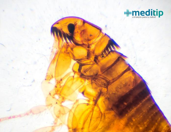 Ectoparásito: pulga, parásito causante de enfermedad